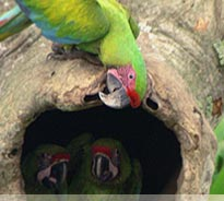 Birding Costa Rica, Great Green Macaws