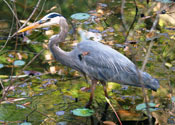 Bird Watching - Reiher Blue Heron