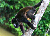 Costa Rica rainforest wildlife: Howler Monkey